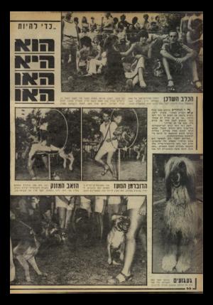 העולם הזה - גליון 2244 - 3 בספטמבר 1980 - עמוד 67 | הכלב השדכן לסמבו האייריש־סטו של אווה (במרכז) חייב חברה משה (משמאל) תודה׳ מיוחדת. לפני שנה הגיעה אווה מאוסטריה לארץ עם סמבו. לסמבו אירעה תאונה ומשה עזר לאווה